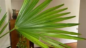 Palmen Für Die Wohnung : d nger f r palmen pflanzen f r nassen boden ~ Markanthonyermac.com Haus und Dekorationen
