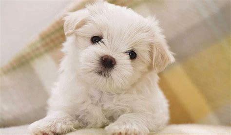 bichon frise puppy showing puppies