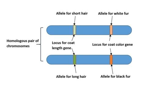 How Do Locus And Allele Differ?