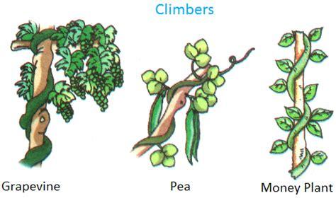 Plants Around Us  Big & Small Plants  Shrubs & Herbs
