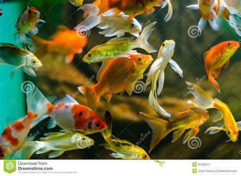 koi et carpe dans l aquarium photographie stock libre de droits image 31405217