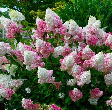 78 best id 233 es 224 propos de hortensias sur hortensias jardin d hortensia et