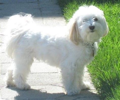 small white non shedding breeds top 10 small dogs that don t shed sheds the o jays and