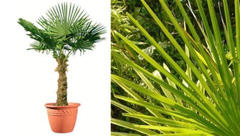 palmier de chine en pot 225 250 cm de haut vente priv 233 e