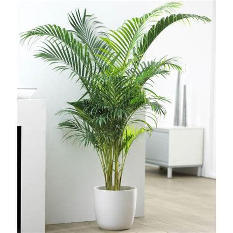 areca le palmier d int 233 rieur takaplanter