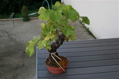 acheter pied de vigne en pot
