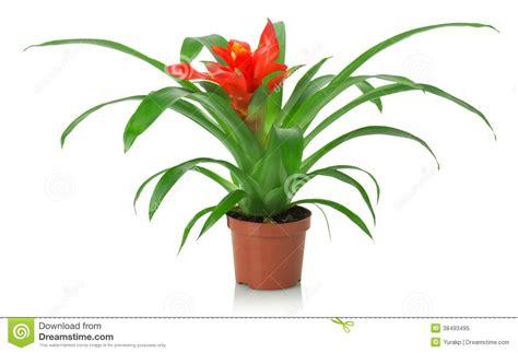 fleur de plante d int 233 rieur sur un fond blanc photo libre de droits image 38493495