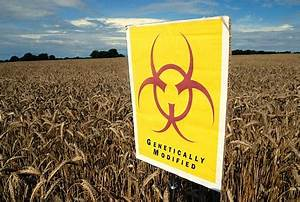 Fears GM wheat that fends off greenfly could affect humans ...