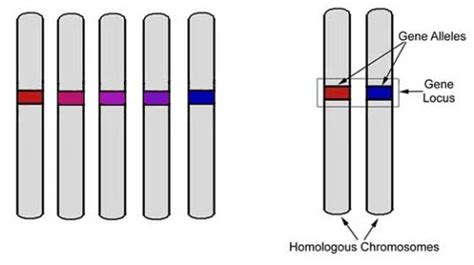 (human Chromosomes