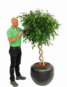 Große Zimmerpflanzen Pflegeleicht : gro e zimmerpflanzen kaufen 123zimmerpflanzen ~ Markanthonyermac.com Haus und Dekorationen