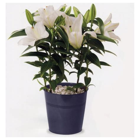 lys en pot interflora wikifleurs