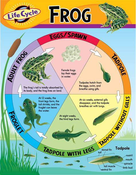 The Life Cycle Of A Frog Wikybrewcom