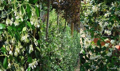 Climbing Plants Best Evergreen Climbers Uk Garden Centre
