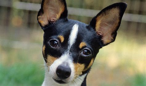 Rat Terrier Shedding Help by Fox Terrier Information Photos Doglers
