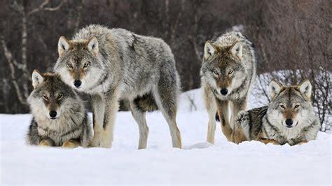 loups animaux toiles peintures tableaux