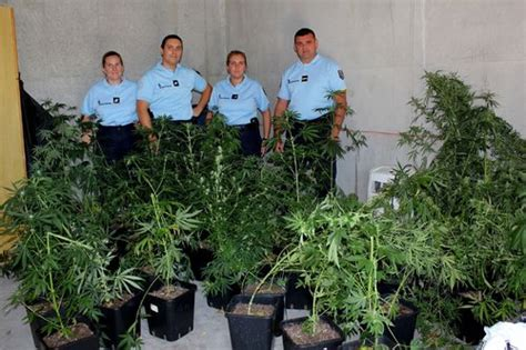 une cinquantaine de plants de cannabis saisis 224 tourrettes draguignan var matin