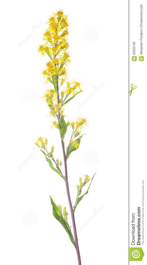 Small Wild Yellow Flowers On Long Stem Stock Photo  Image 62023130