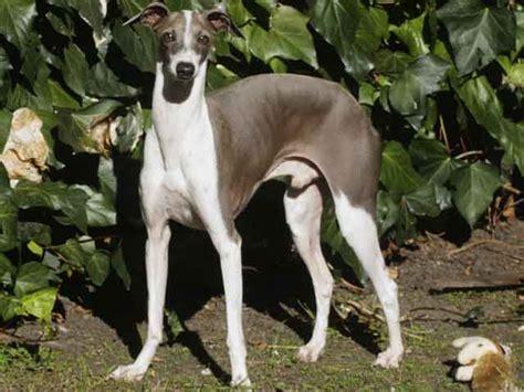italian greyhound breed italian greyhound temperament