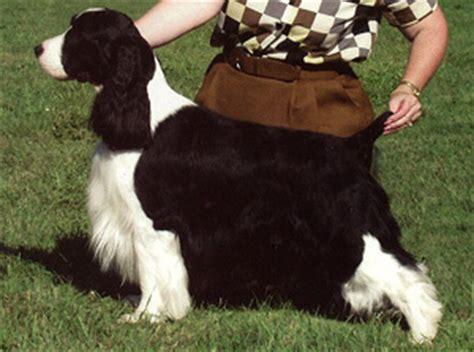 physical characteristics springer spaniel