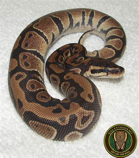 python shedding signs 100 python shedding and feeding pinto pied