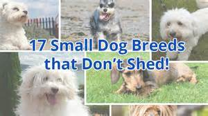 top 10 breeds that dont shed a place to dogs dogs that don breeds picture