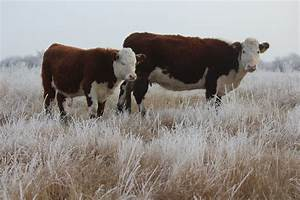 Hereford Cows | Gemstone Cattle Co.