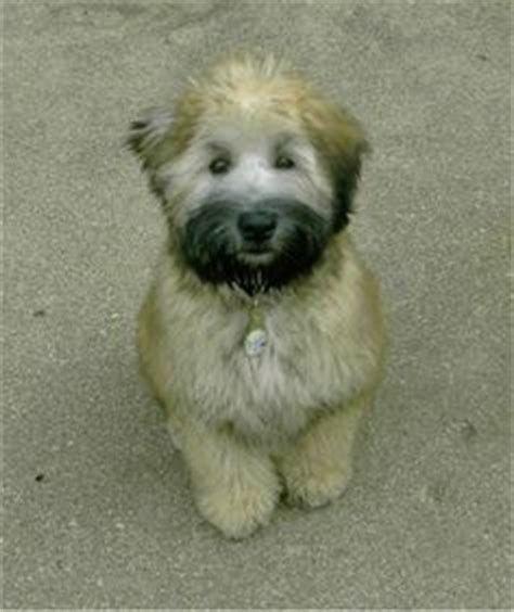 1000 images about non shedding dogs on wheaten terrier australian labradoodle and