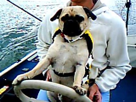 Boat Driving Dog by Pug Driving Boat Youtube