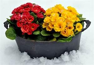 Sind Ranunkeln Winterhart : primeln welche sorten sind winterhart ~ Markanthonyermac.com Haus und Dekorationen