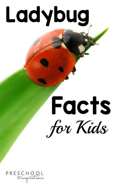 Ladybug Facts For Kids  Preschool Inspirations