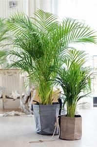 Große Zimmerpflanzen Pflegeleicht : tipps f r die richtige pflege der goldfruchtpalme ~ Markanthonyermac.com Haus und Dekorationen