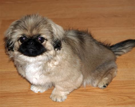 Pekingese Shih Tzu Shedding by Pictures Of A Maltese Pekingese Mix Breeds Picture
