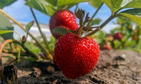 9 conseils pour faire pousser des fraises sucr 233 es en abondance trucs pratiques