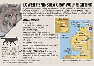 Gray wolf confirmed in northern Lower Peninsula