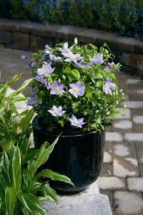 clematis care growing clematis in garden pots and planters