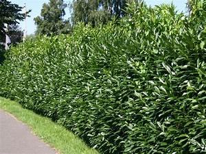 Lorbeer Gelbe Blätter : kirschlorbeer lorbeerkirsche 39 caucasica 39 prunus laurocerasus 39 caucasica 39 baumschule horstmann ~ Markanthonyermac.com Haus und Dekorationen