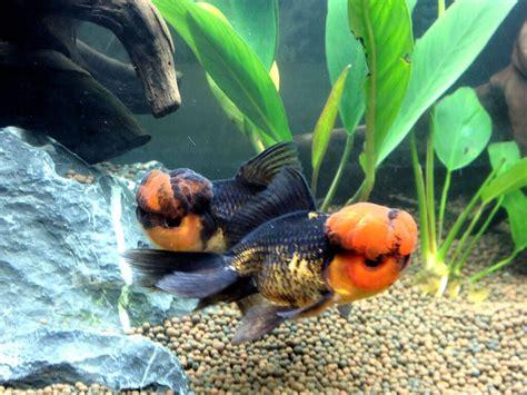 aquarium 224 poissons rouges oranda poissons tropicaux