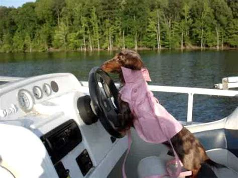 Boat Driving Dog by Dog Driving Boat Youtube