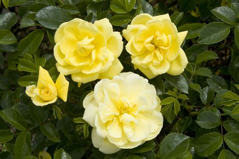 Yellow Rose Image Collection For Free Download Best Carpet Cleaners In Modesto Ca Brush For Cleaning Resolve High Traffic Cleaner Reviews Kennedy Canton Ma What Weight Of Pad Is Gets Red Wine Out Cream Amarillo Tx Putt Golf Course