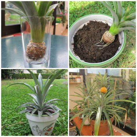 les 25 meilleures id 233 es concernant planter des ananas sur cultiver les meilleurs