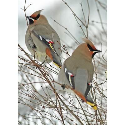 Birding with Lisa de Leon: Bohemian Waxwing Influx