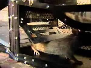 Mäuse Fangen Ohne Falle : grosse lebendfalle rattenfalle mausefalle fuer mehr als 7 nager gleichzeitig maf01 youtube ~ Markanthonyermac.com Haus und Dekorationen