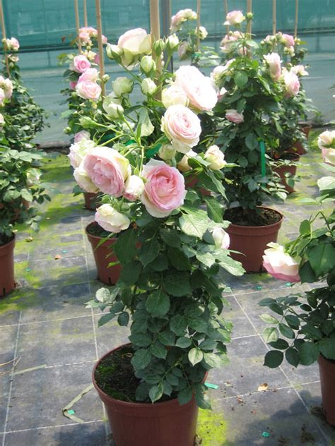 soci 233 t 233 fran 231 aise des roses les diff 233 rents conditionnements du rosier racines nues pochette