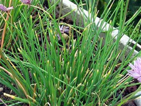 ciboulette allium schoenoprasum plantation culture entretien