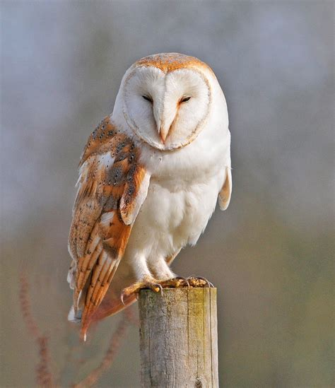 barn owl for barn owl amazing animal basic facts pictures animals