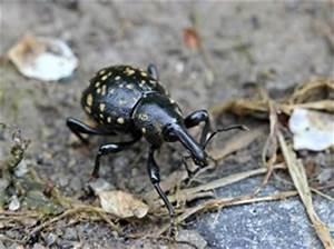 Larven In Der Erde : r sselk fer richtig bek mpfen sanfte mittel gegen curculionidae ~ Markanthonyermac.com Haus und Dekorationen