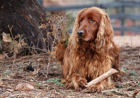 setter proper food beautiful hair all about dogs breeds picture