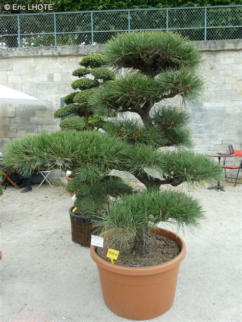 fiche pinus thunbergii page 5722