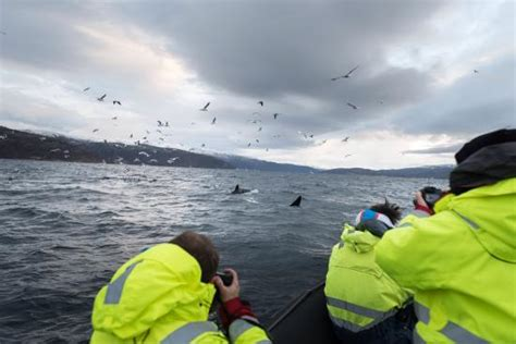 Rib Boat Whale Watching Tromso by Rib Boat Whale Watching Tour 10 Nov Picture Of Tromso