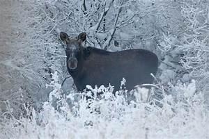 Was Wiegt Schnee : elchspuren im schnee ~ Whattoseeinmadrid.com Haus und Dekorationen